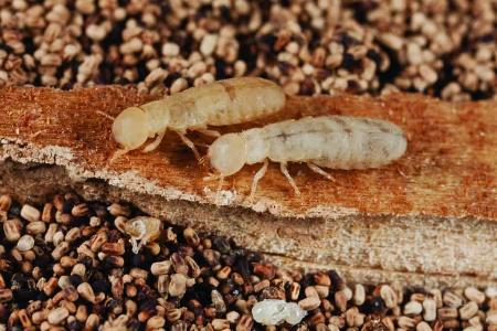 Winged Termites and Ants: Can You Tell the Difference?